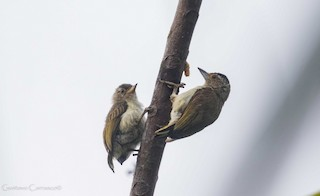 - Plain-breasted Piculet