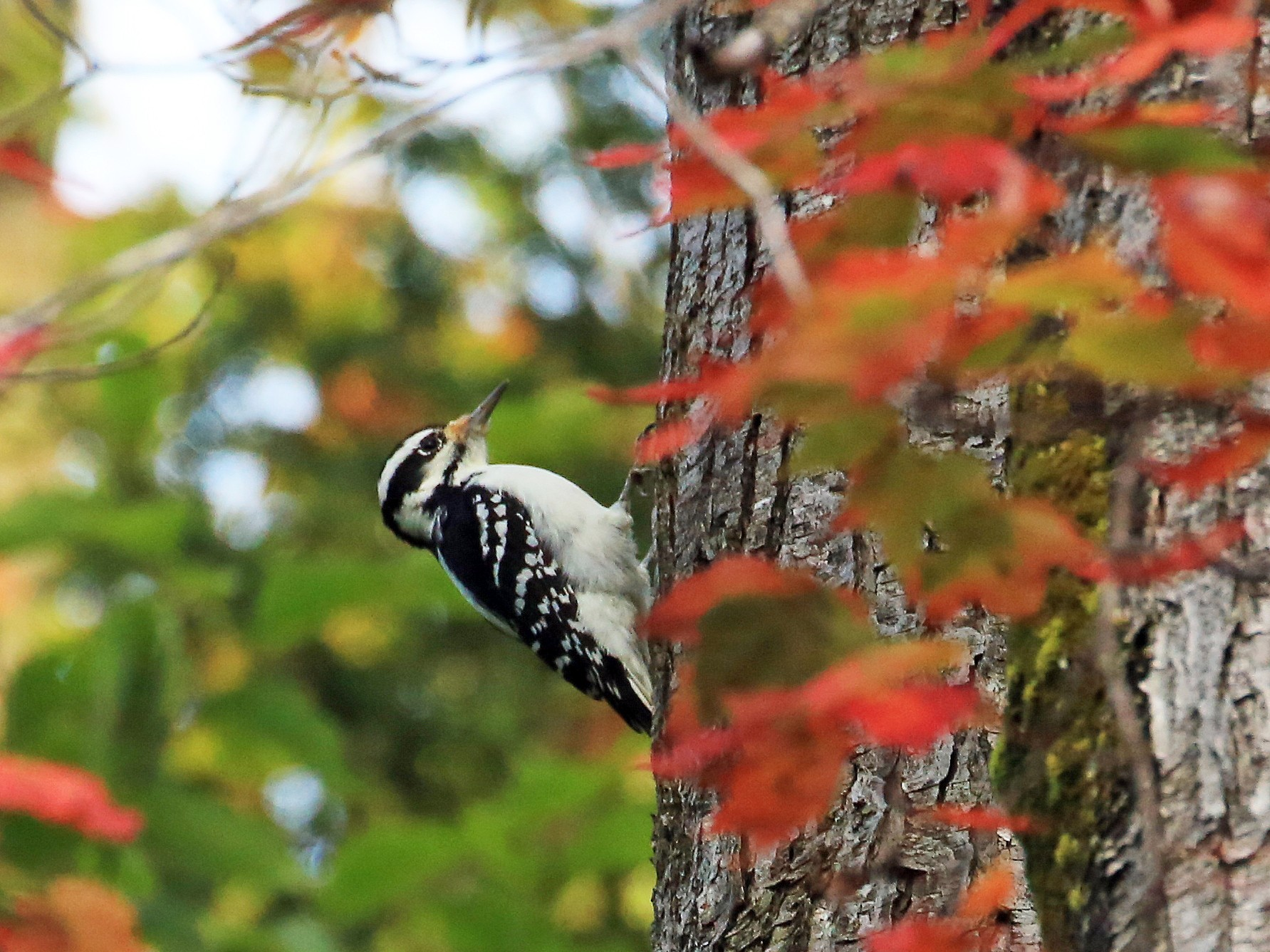 Hairy Woodpecker - Tim Lenz