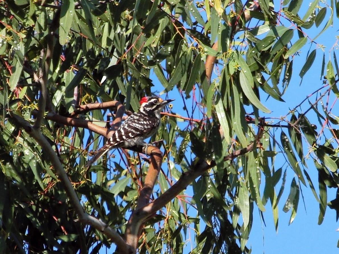 Nuttall's Woodpecker - DigiBirdTrek CA