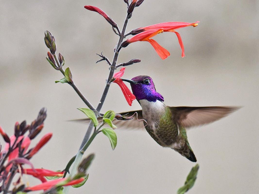Costa's Hummingbird - Ryan O'Donnell