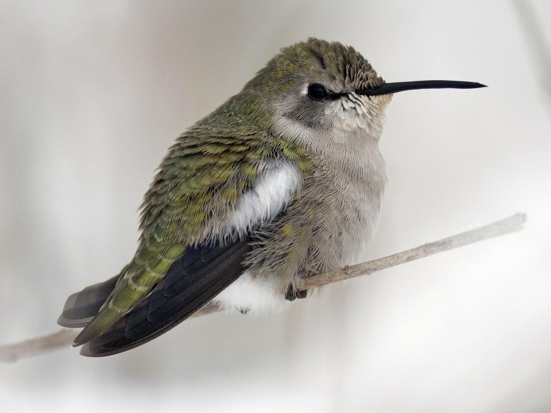Costa's Hummingbird - Nick Hajdukovich