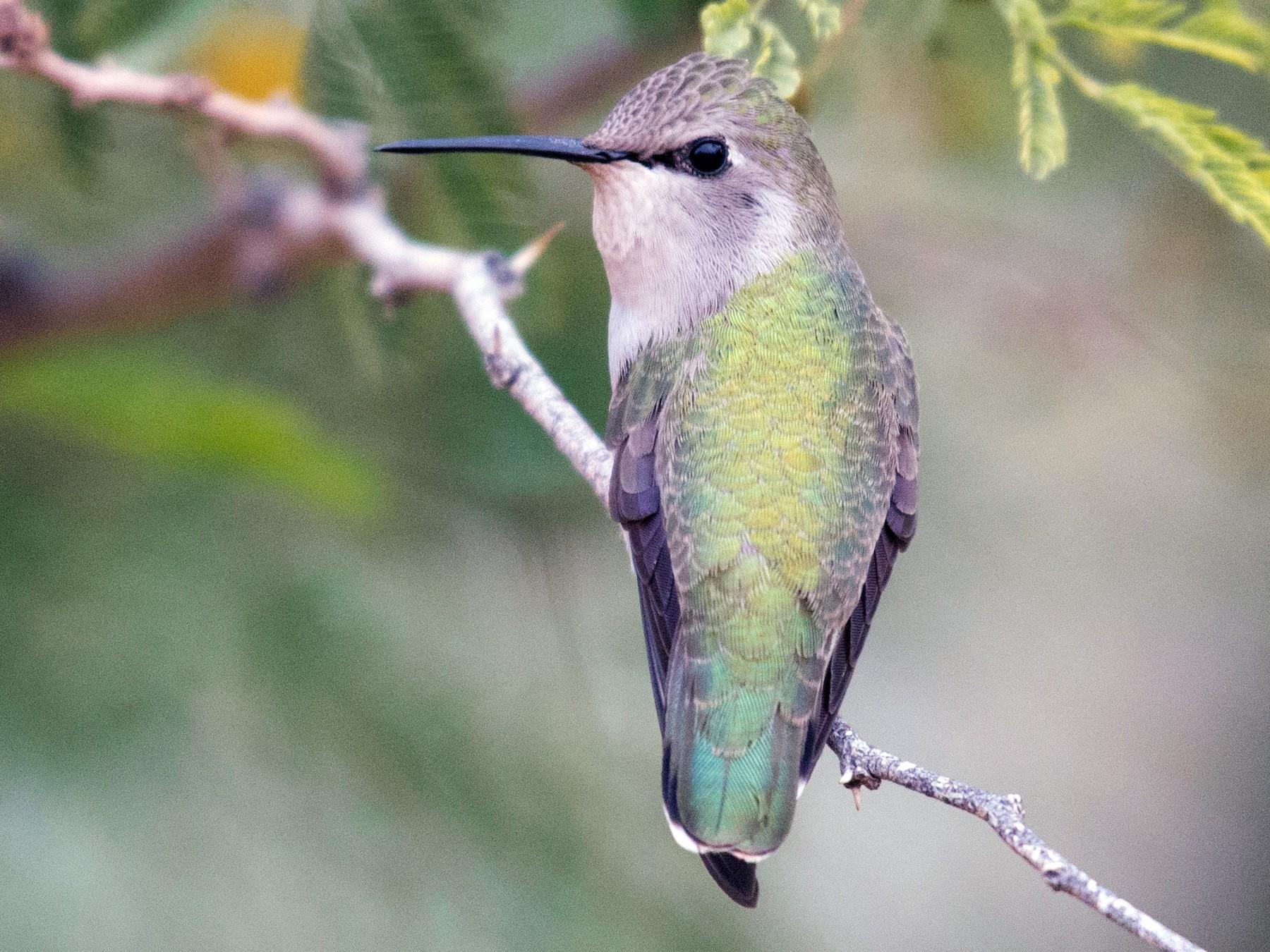 Costa's Hummingbird - Herb Elliott