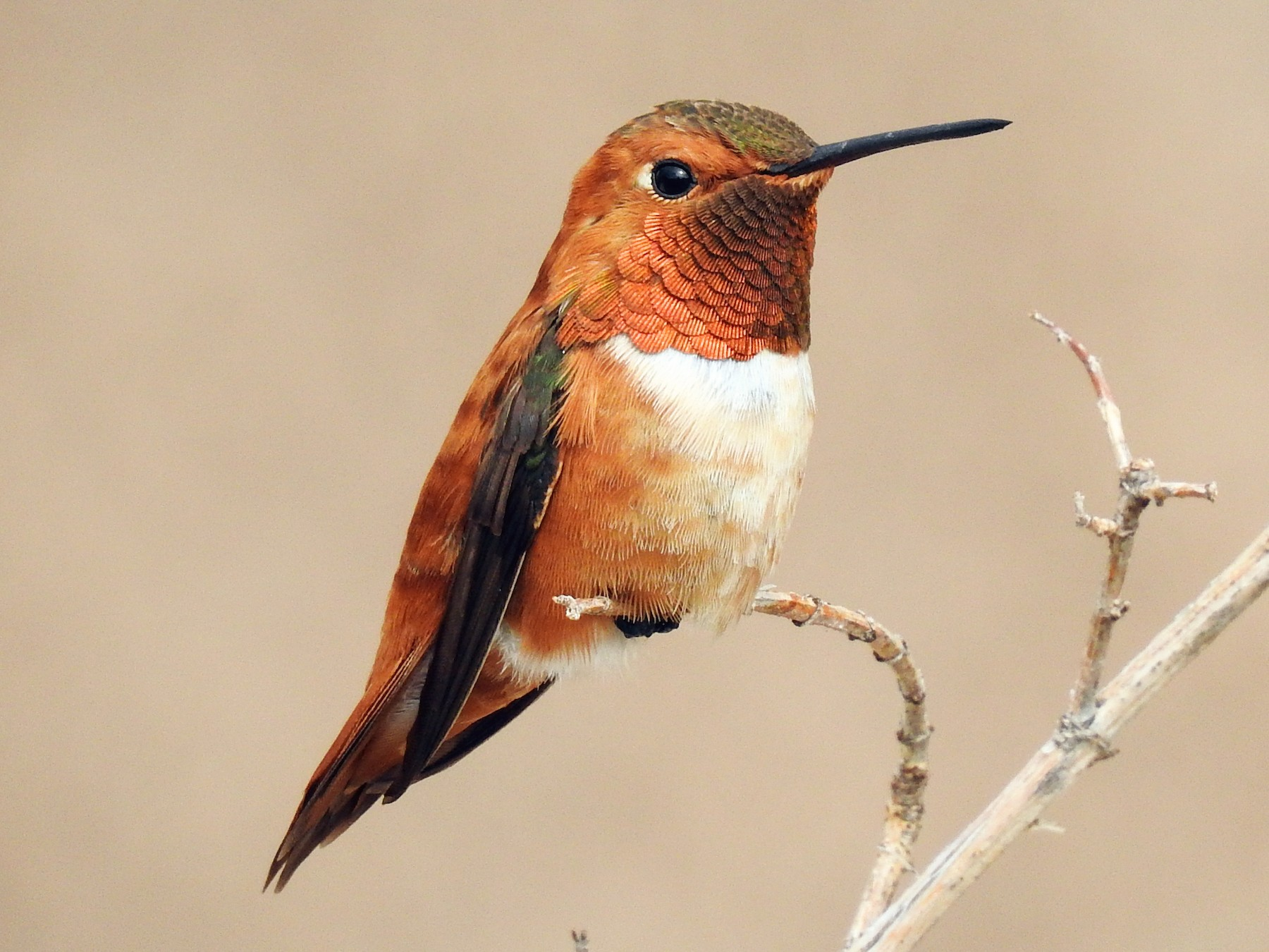 Rufous Hummingbird - Spencer Follett
