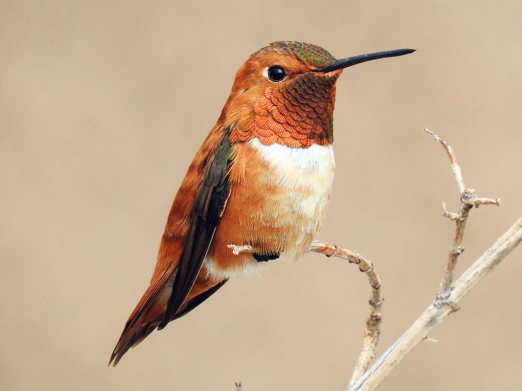 Rufous Hummingbird - Spencer Follett