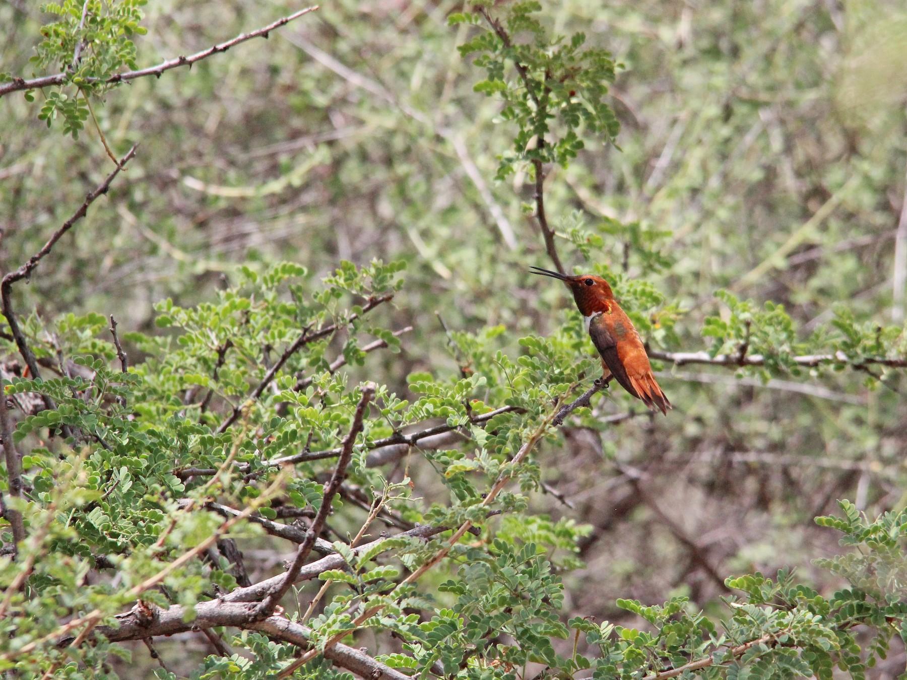 Rufous Hummingbird - Ashley Merritt