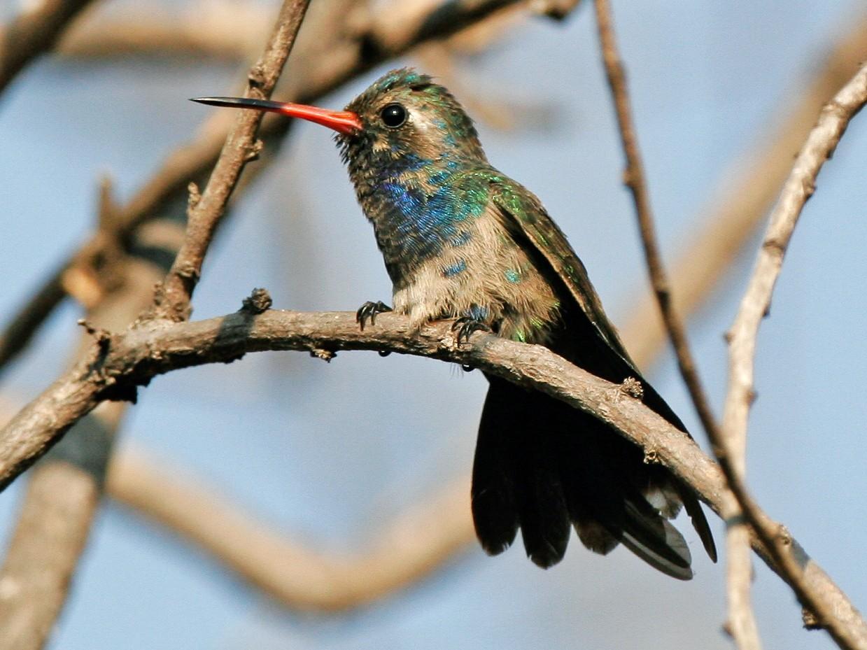 Broad-billed Hummingbird - Chris Wood