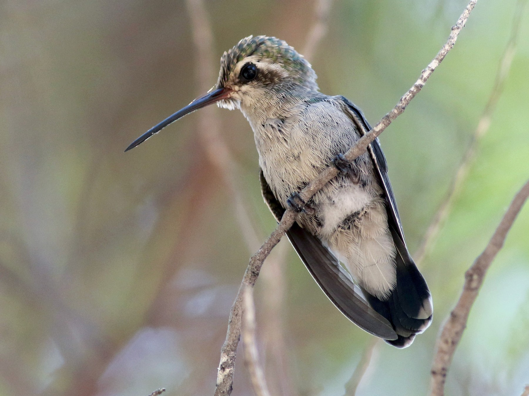 Broad-billed Hummingbird - Jay McGowan