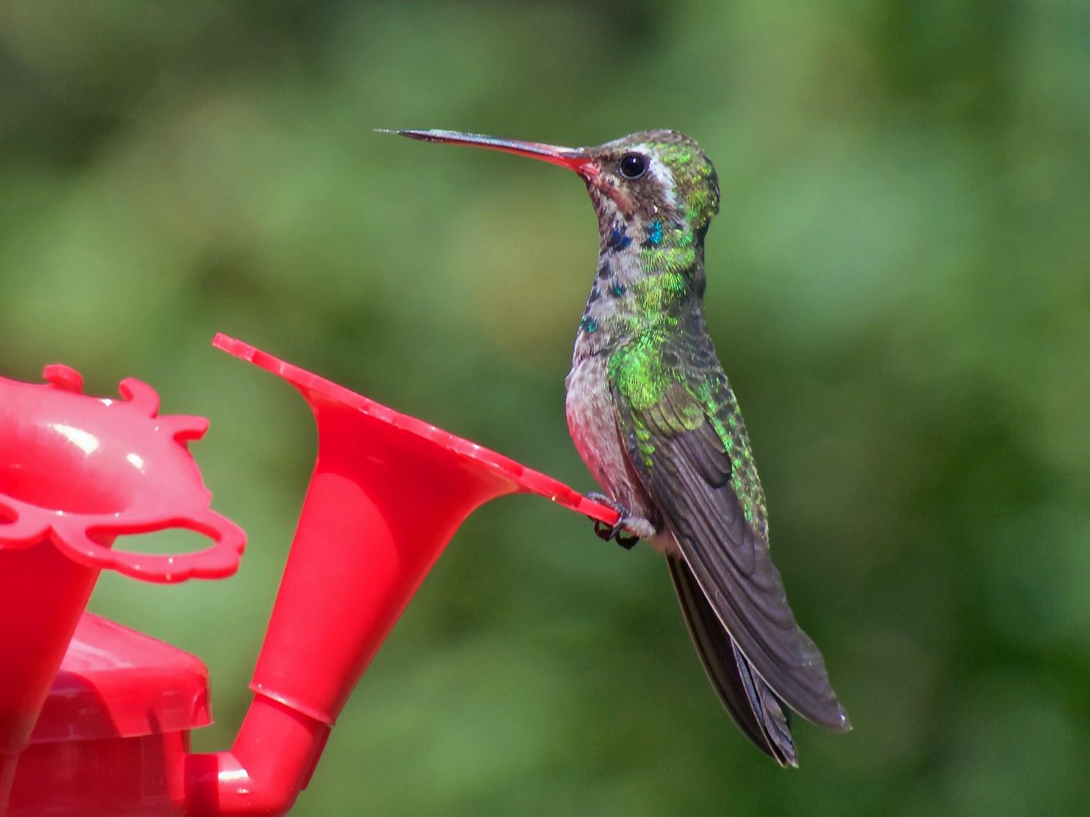 Broad-billed Hummingbird - Danny Tipton