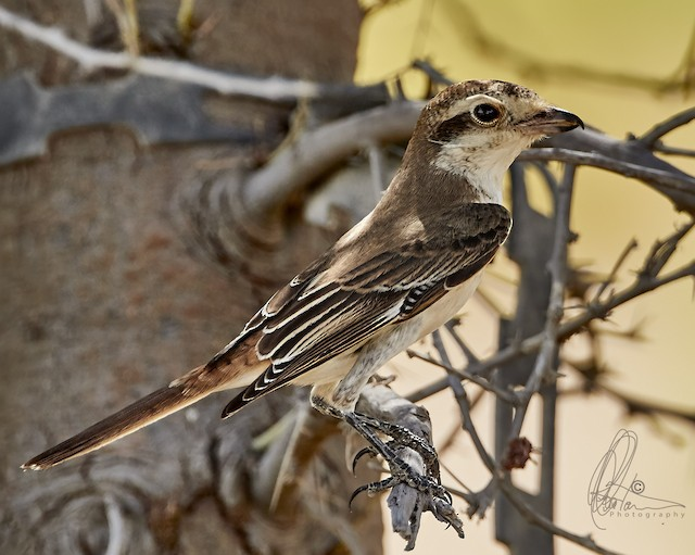 Red-tailed Shrike