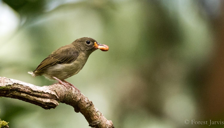 White-bellied Flowerpecker - Forest Jarvis