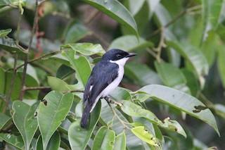 - Black-winged Flycatcher-shrike