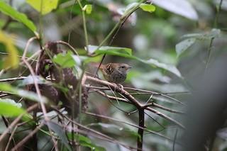 - Scalloped Antbird