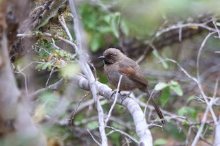 - Red-shouldered Spinetail