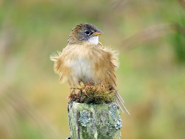 Lesser Grass-Finch