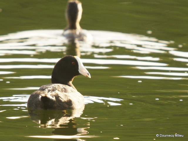 American Coot (White-shielded)