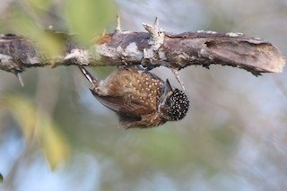 - Spotted Piculet