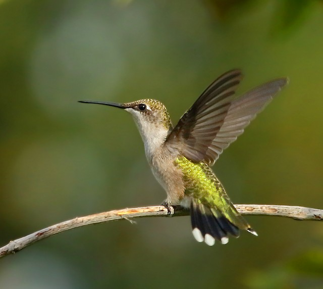 © Kaleb Kroeker - Ruby-throated Hummingbird