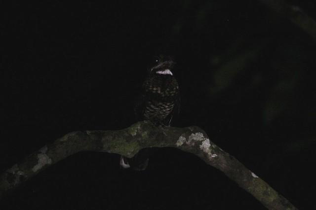 Bonaparte's Nightjar