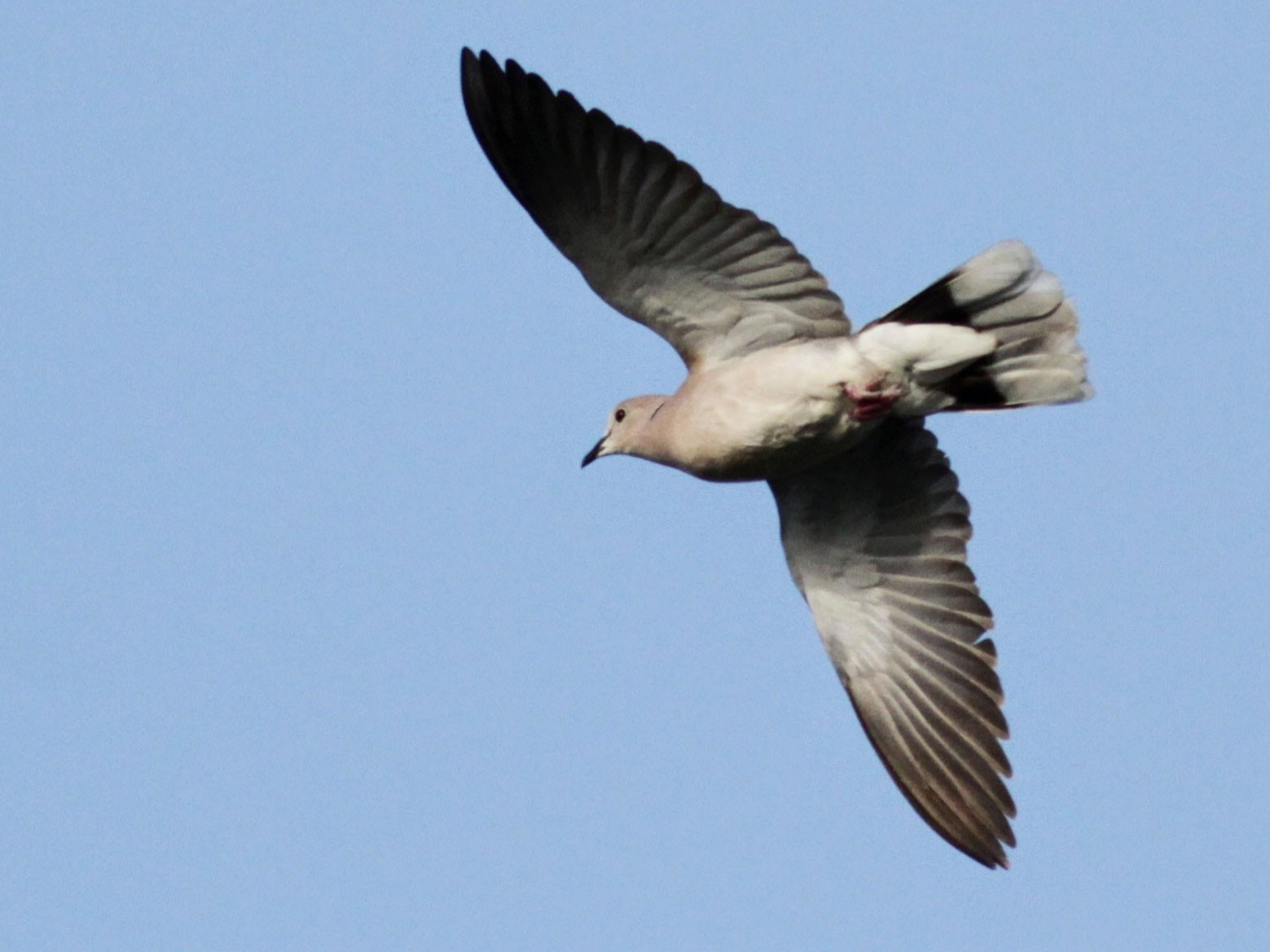 African Collared-Dove - Jay McGowan