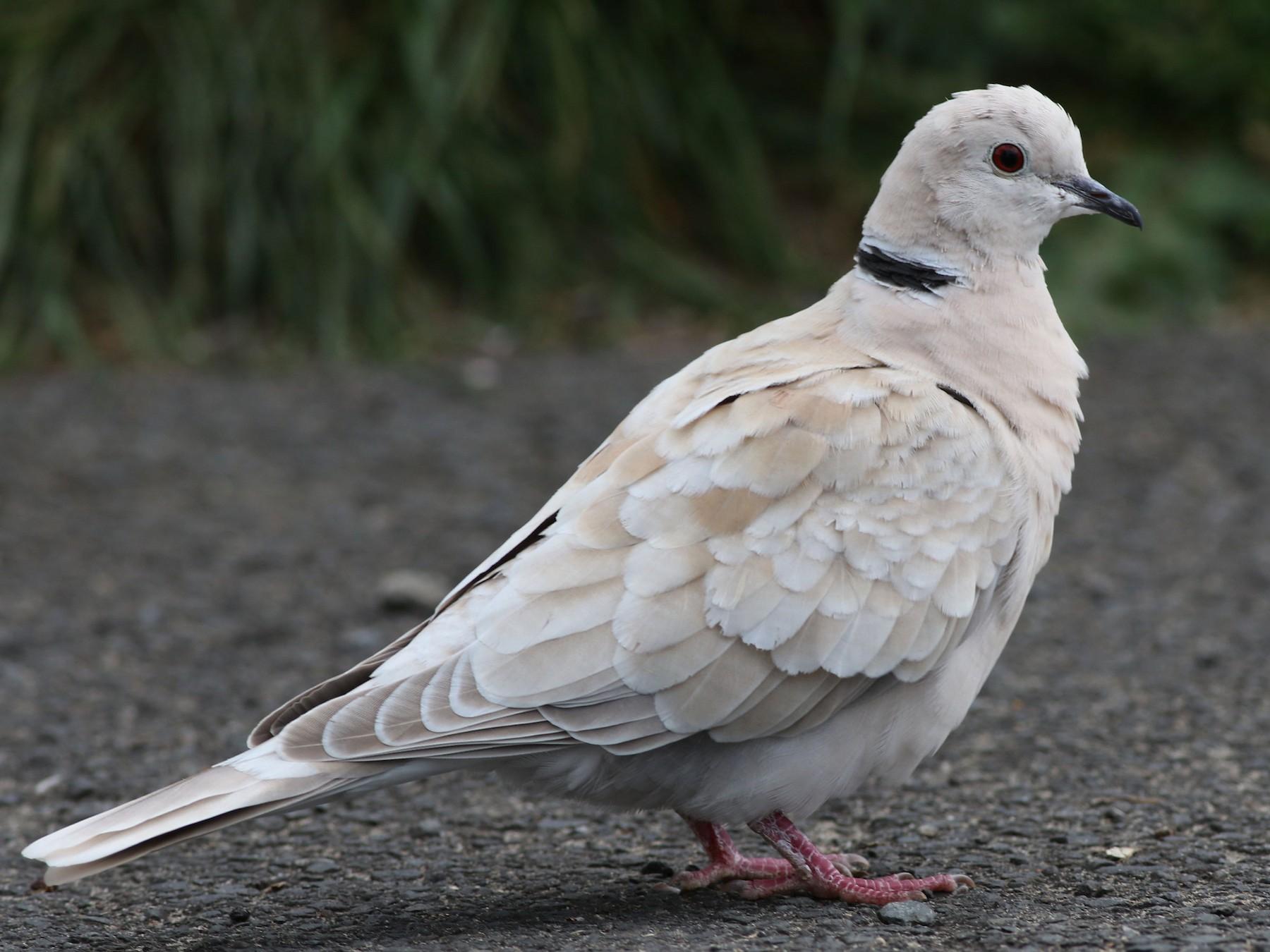 African Collared-Dove - Derek Stokes