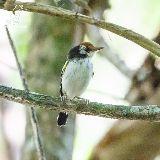 White-cheeked Tody-Flycatcher