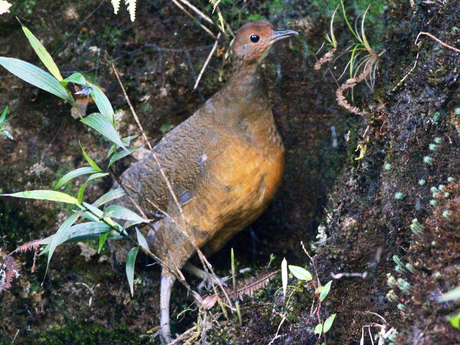 Tawny-breasted Tinamou - Anthony Collerton