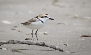 - Malaysian Plover