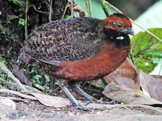 - Rufous-fronted Wood-Quail