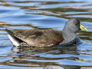 - Spot-flanked Gallinule