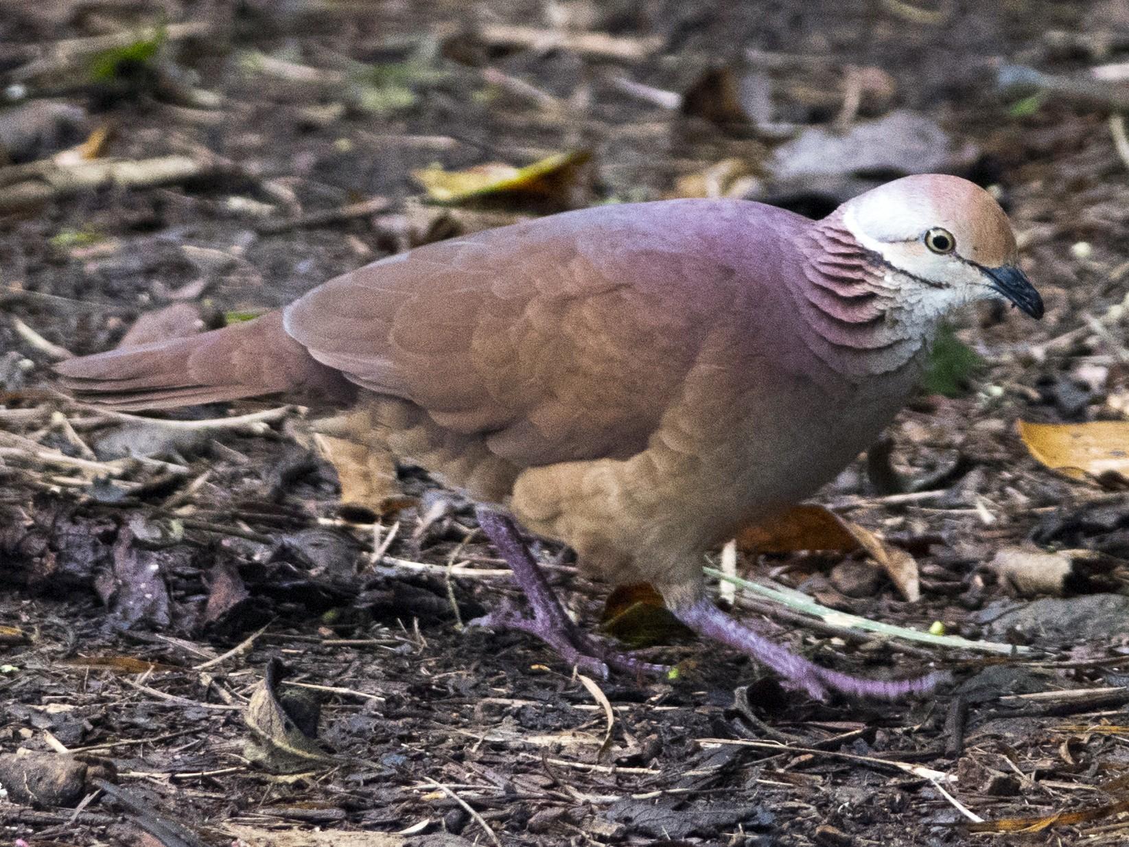 Lined Quail-Dove - John Cahill xikanel.com