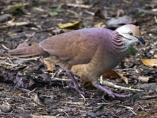 - Lined Quail-Dove