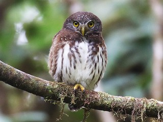 - Cloud-forest Pygmy-Owl