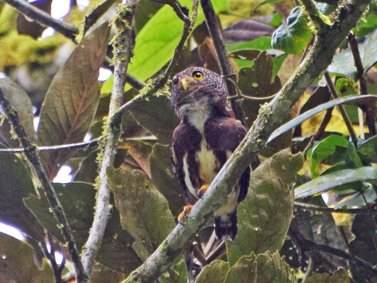 Cloud-forest Pygmy-Owl - John Bruin