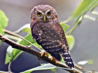 - Andean Pygmy-Owl
