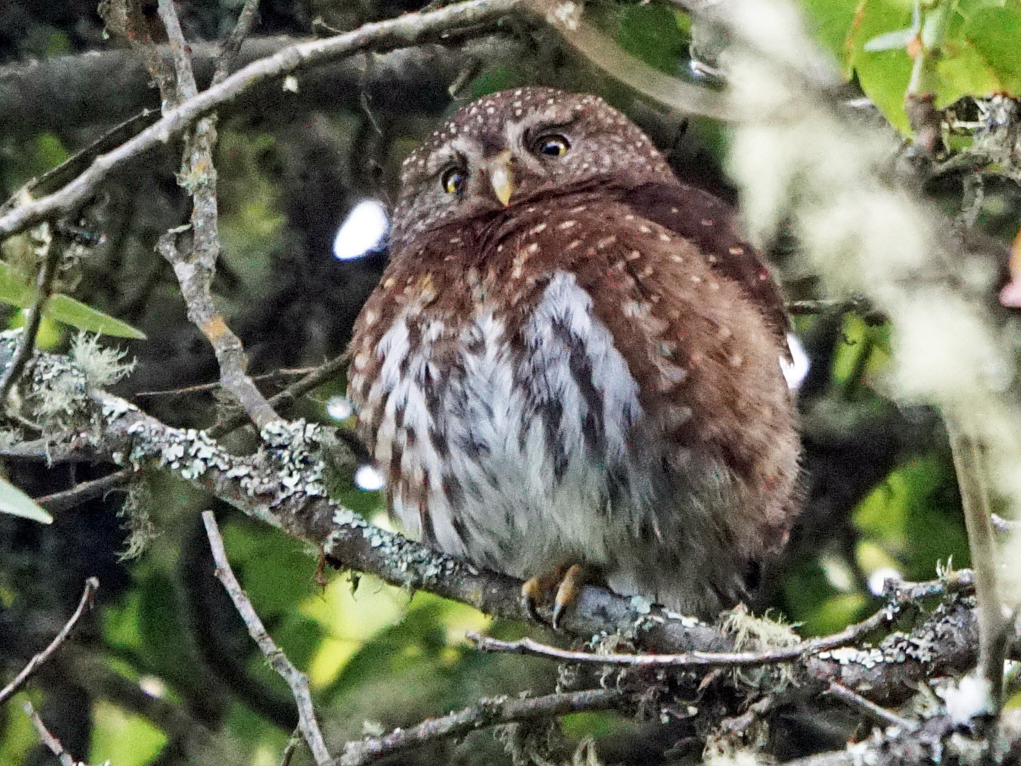 Andean Pygmy-Owl - Michael Smith