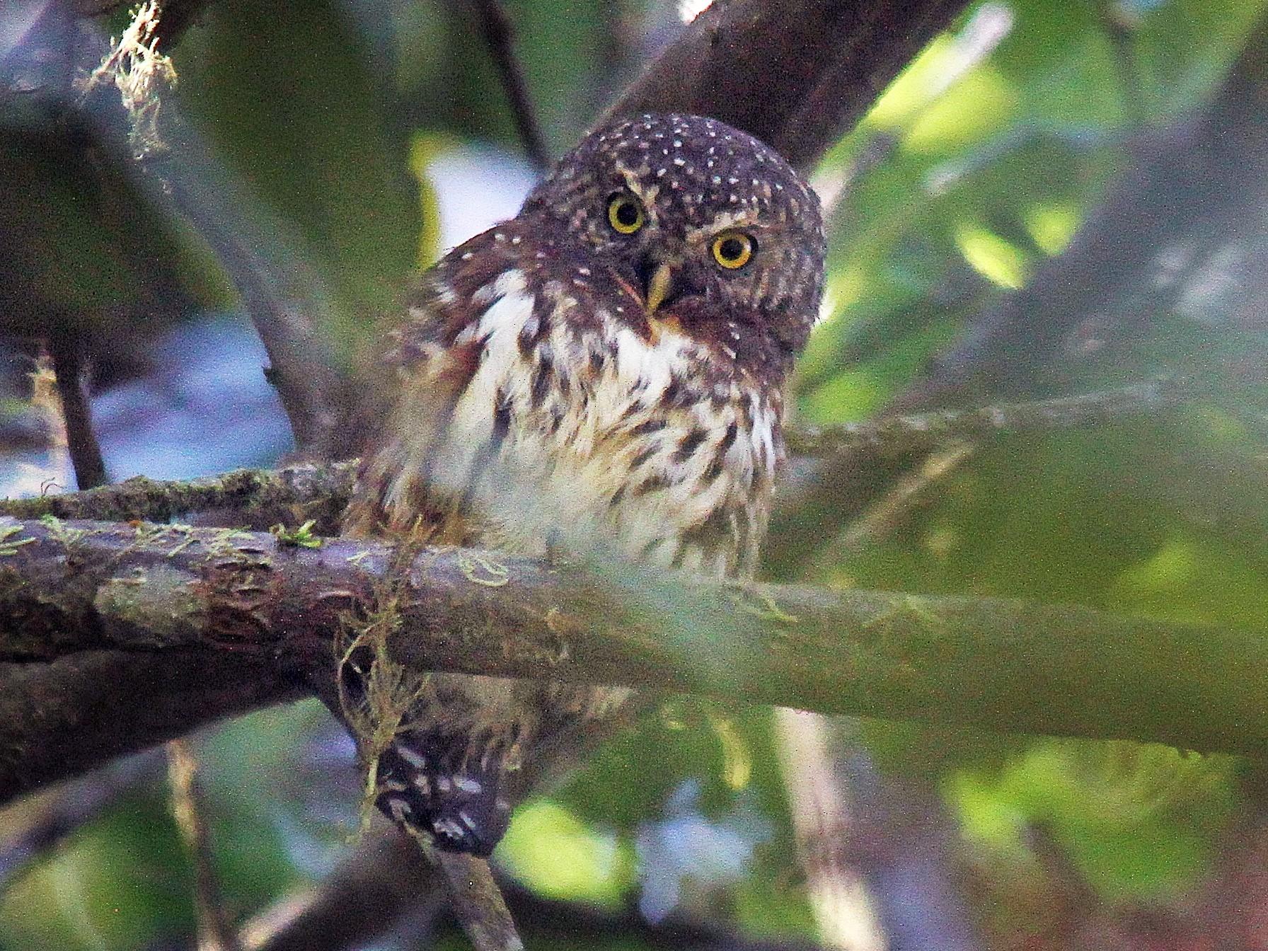 Andean Pygmy-Owl - Ron Furnish