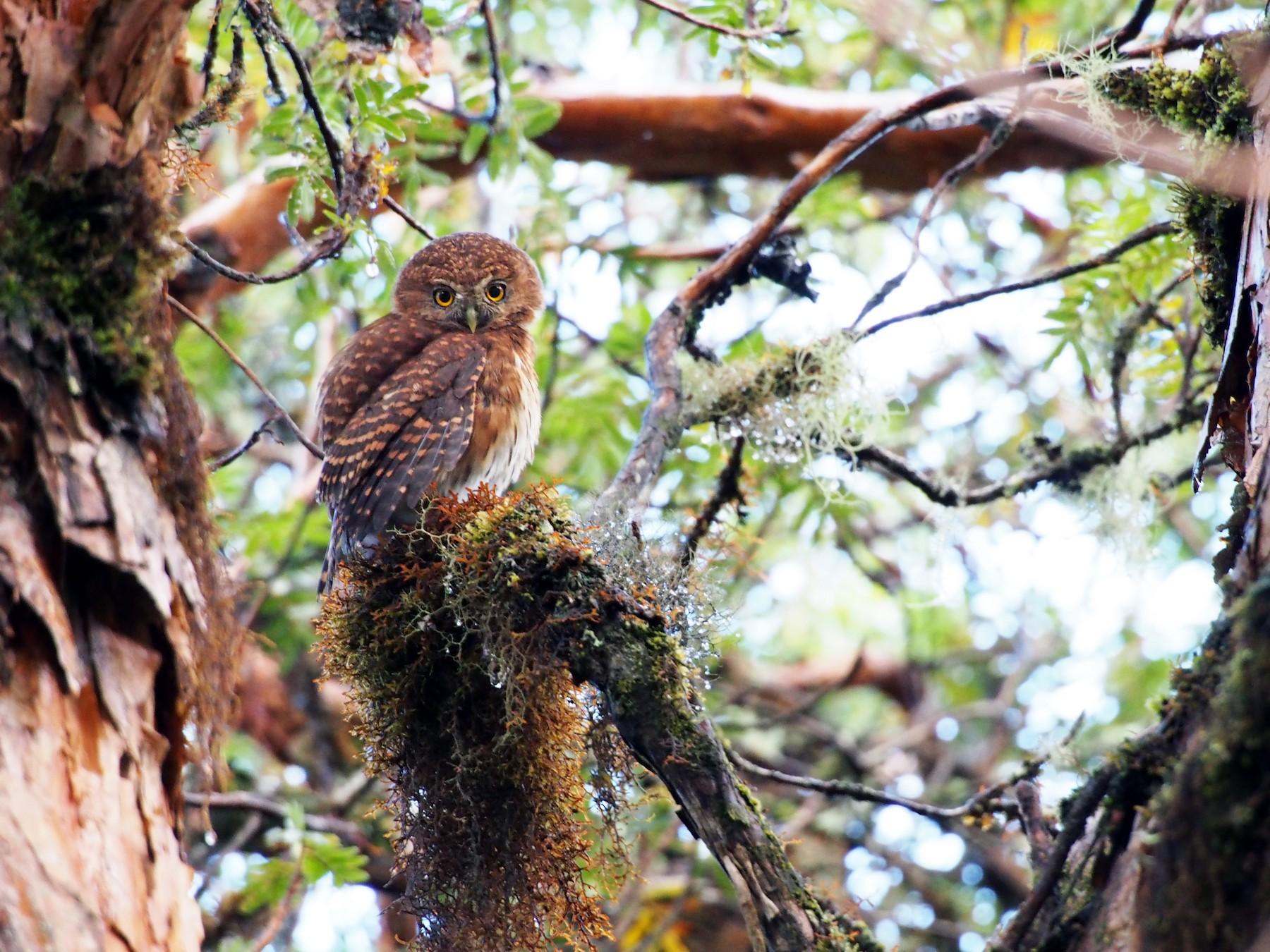 Andean Pygmy-Owl - Daniel Lebbin