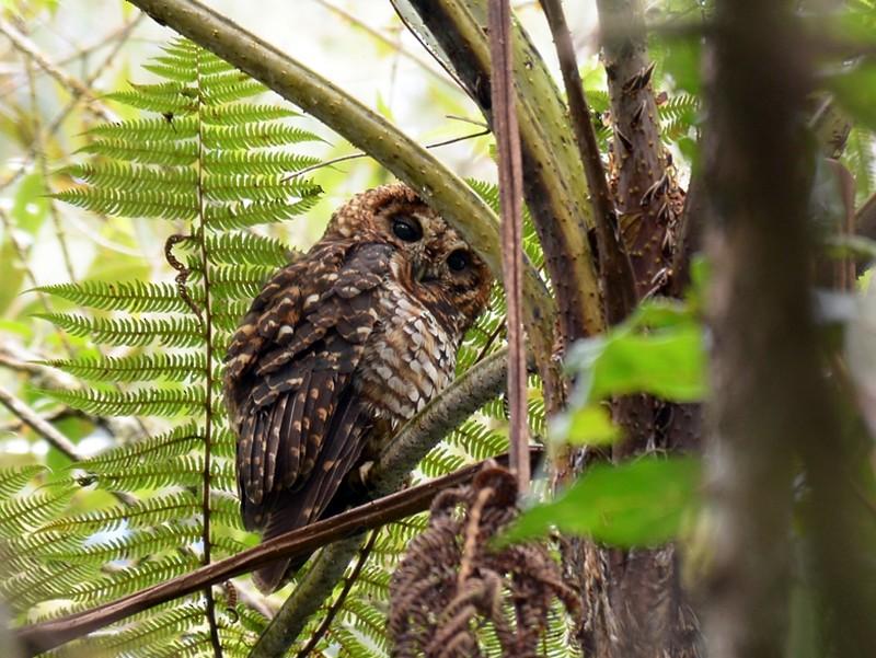 Rufous-banded Owl - Wladimir Giraldo Velasquez
