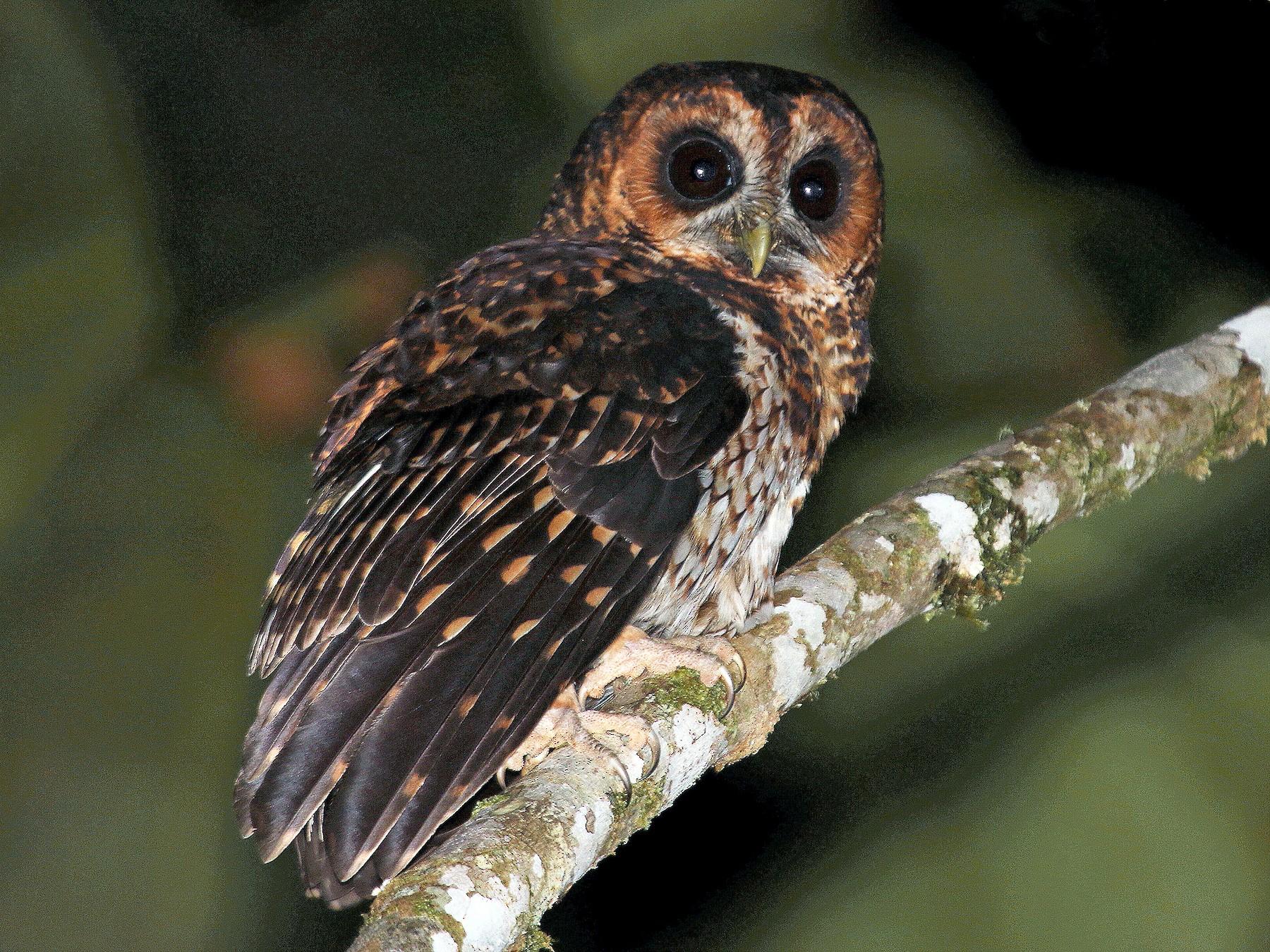 Rufous-banded Owl - Matthew Grube