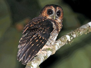 - Rufous-banded Owl