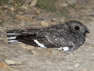 - Band-winged Nightjar