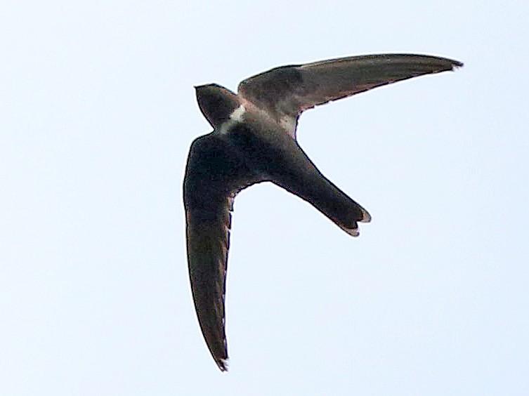 White-chested Swift - Roger Ahlman