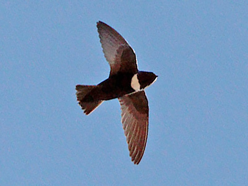 White-chested Swift - Tim Avery