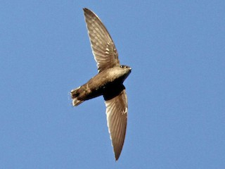 - Band-rumped Swift