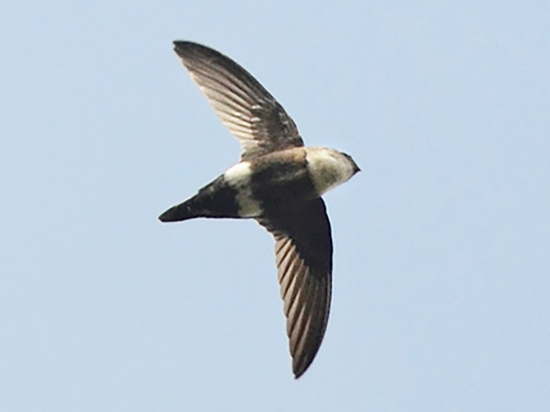 White-tipped Swift - Joshua Vandermeulen