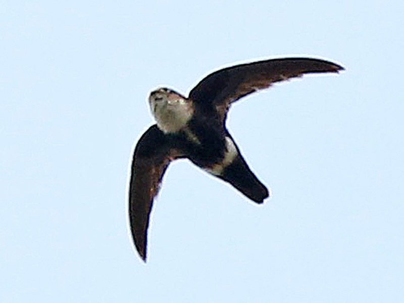 White-tipped Swift - Roger Ahlman