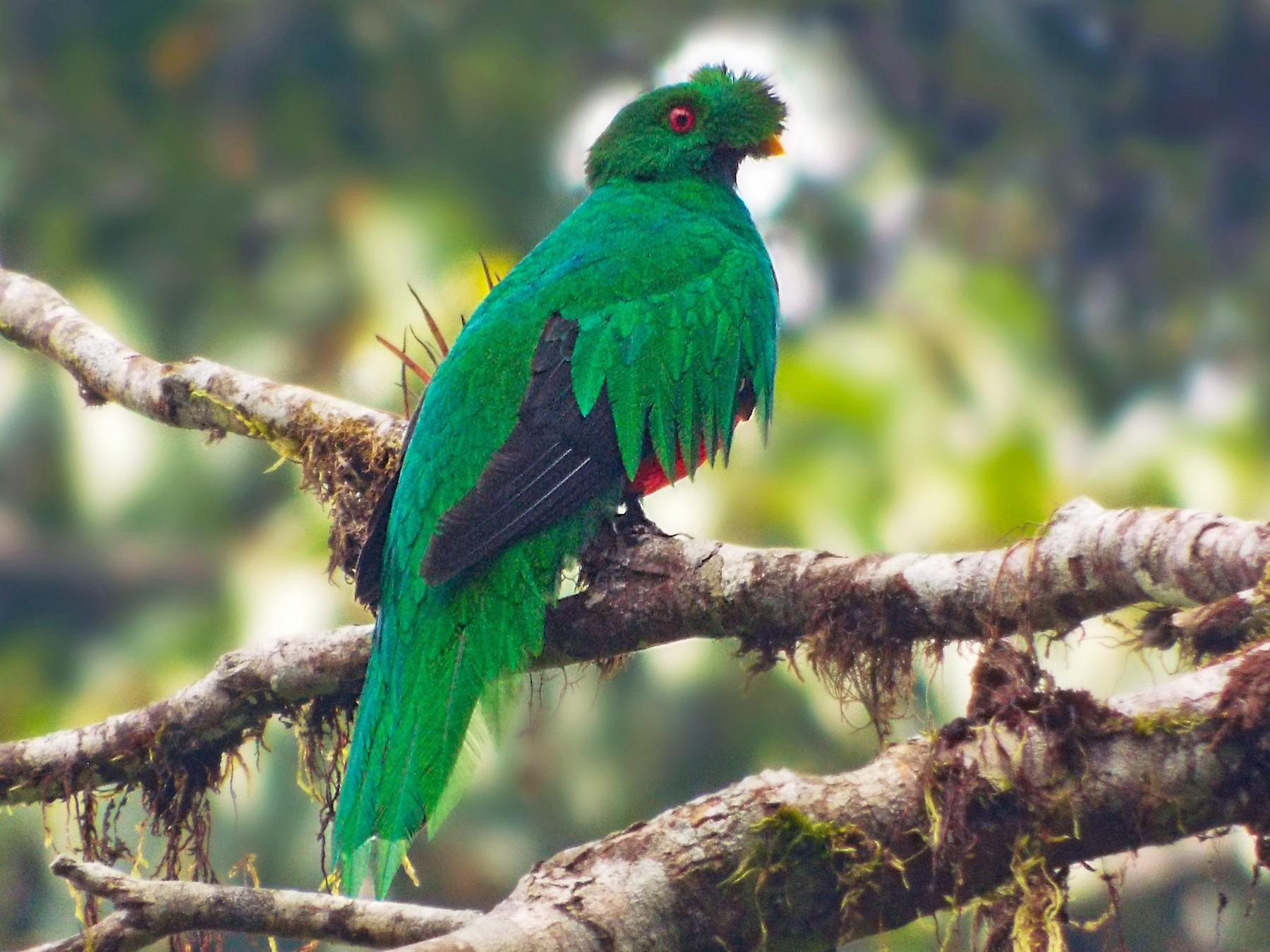 Crested Quetzal - Jorge Muñoz García   CAQUETA BIRDING