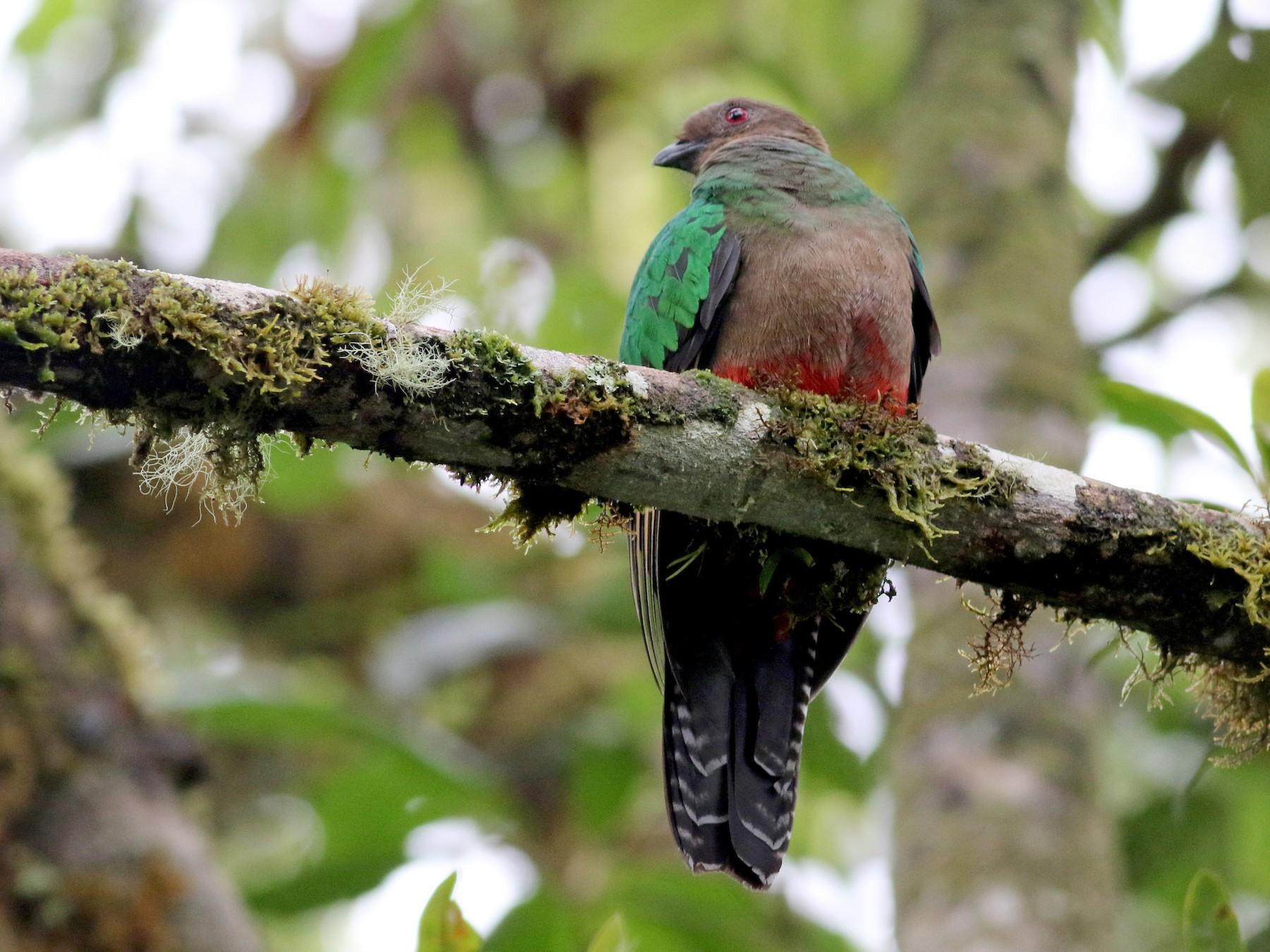 Crested Quetzal - Jay McGowan