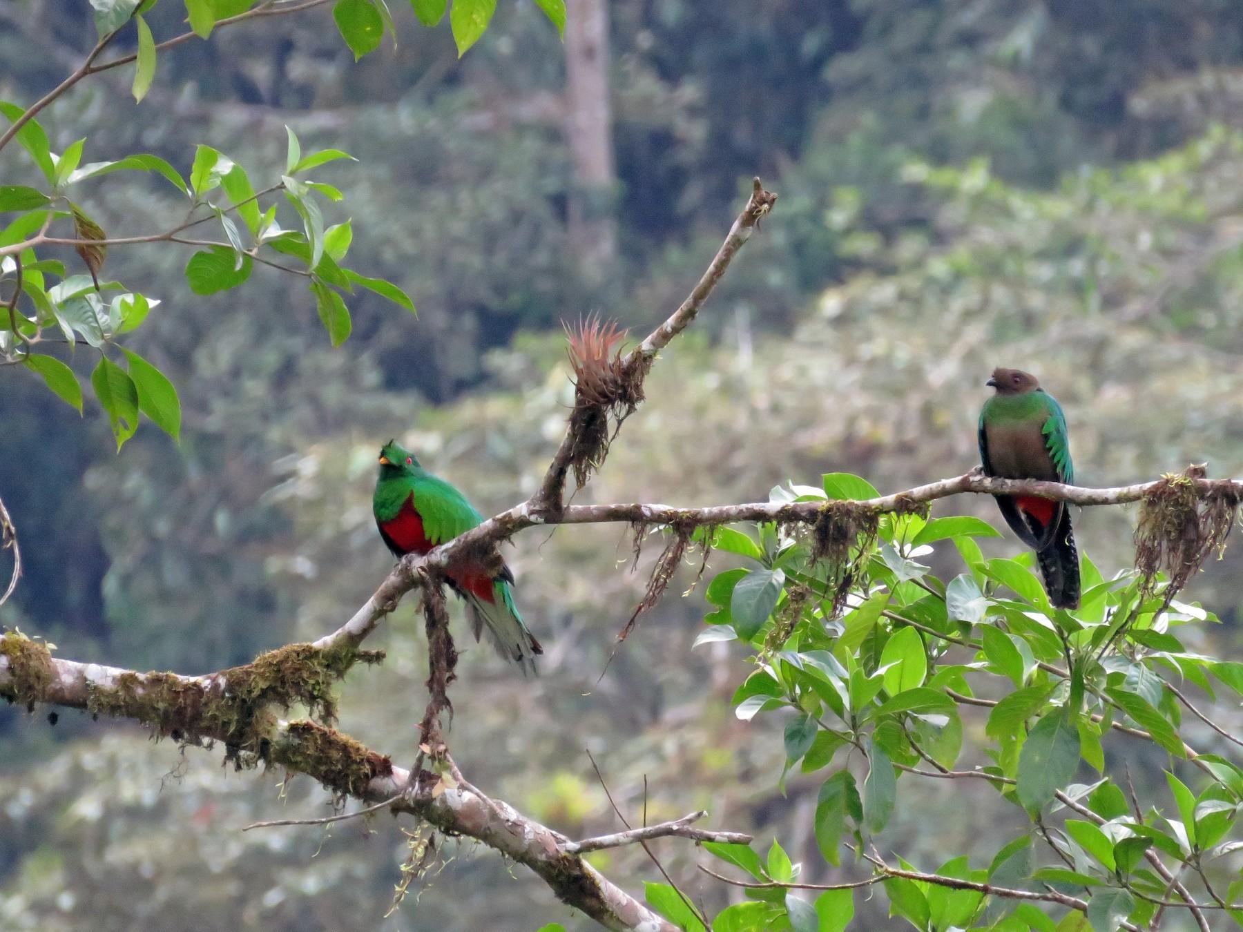 Crested Quetzal - Juan Pablo Arboleda