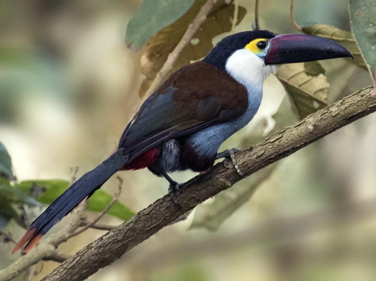 Black-billed Mountain-Toucan - Peter Hawrylyshyn